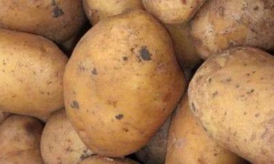 Black summer for Venetian potatoes