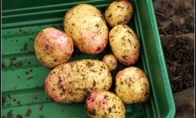 In search of the stress resistant potato