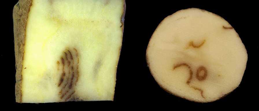 Potato mop top hutachiona hwakaratidzwa