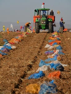 Torrid year for potatoes redeemed by very high prices
