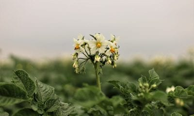 potato 5299374 1280