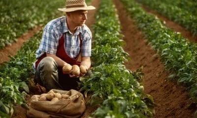 1200 462555459 farmer in potato field