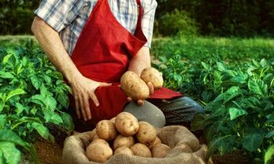CARLIEN BECU ARABLE FARMER IN GROEDE