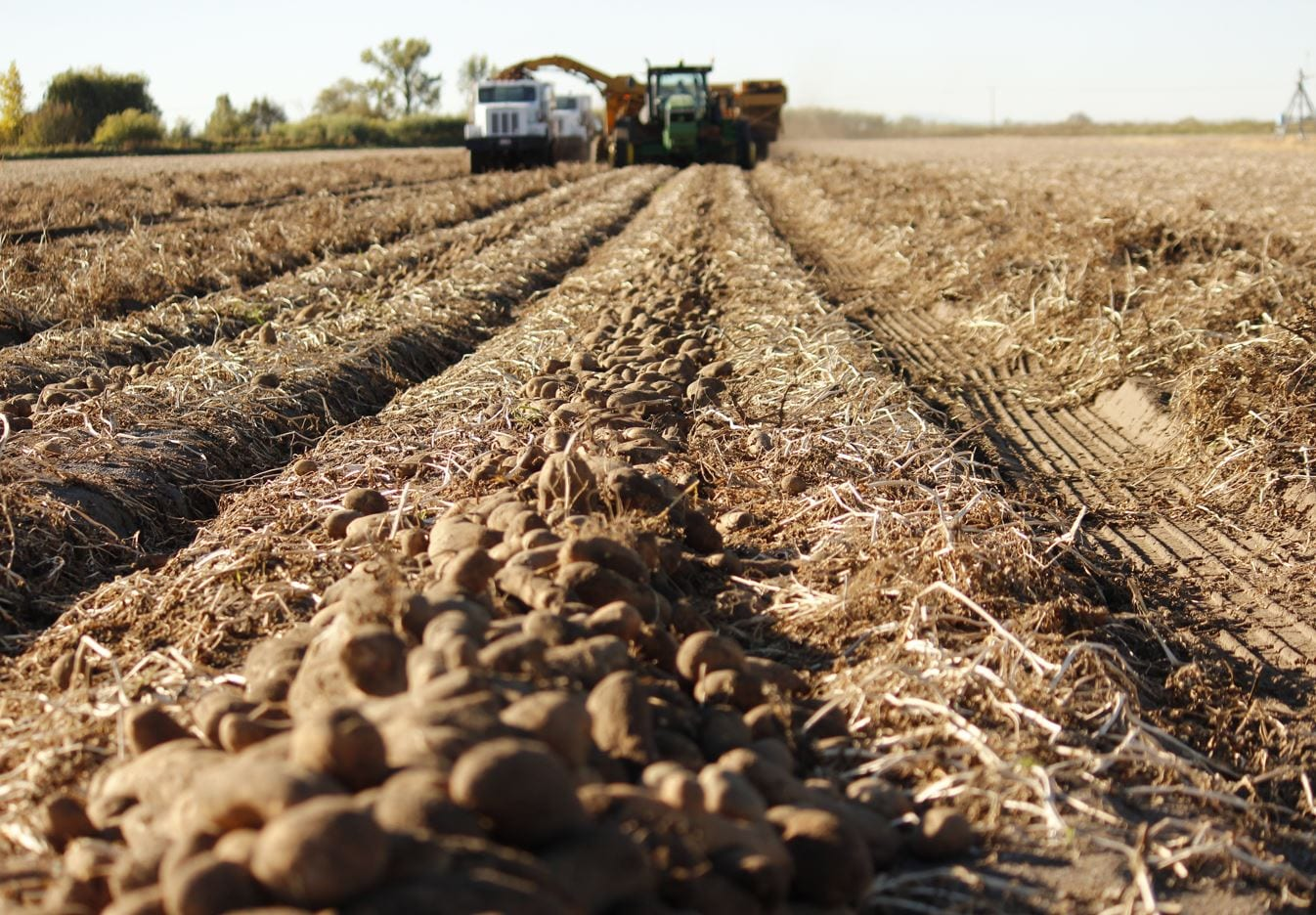 Canadian Potato Crop and Harvest Update