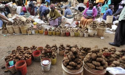 How were getting to the root of a global pest threatening potatoes in East Africa
