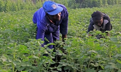 farmers work in their potato plantation in muko sector in musanze district