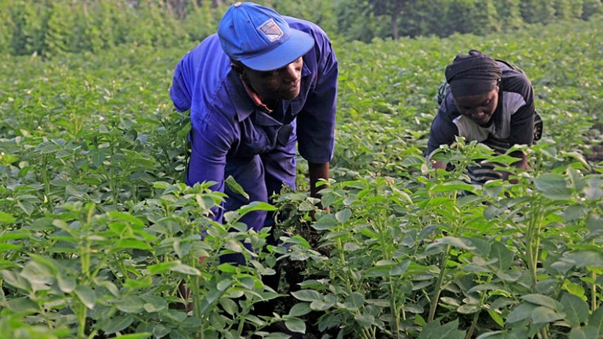 farmers work in their potato plantation in muko sector in musanze district