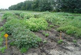 1196 wild potato