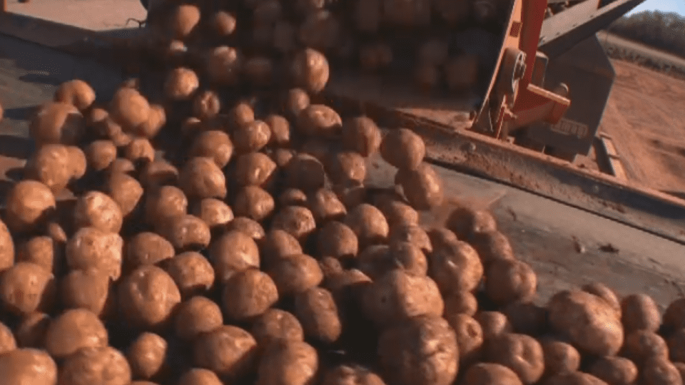 Drought dries up potato harvest revenue in New Brunswick