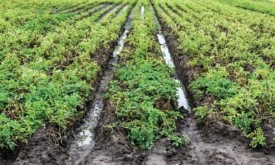Flooding again during potato harvest
