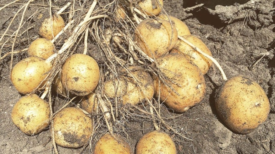 Growth of yellow potatoes and overall quality fuel optimism in Red River Valley