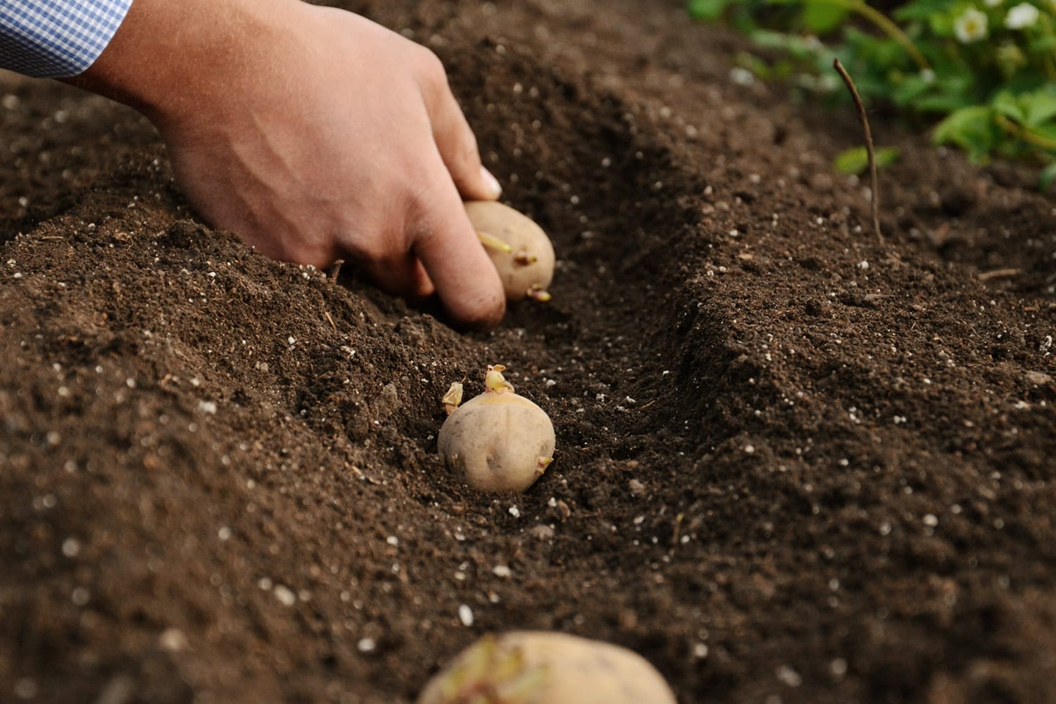 IPM Potato Group markets and distributes seed potatoes in almost every continent