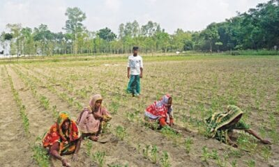 Nilphamari farmers pinning hopes on early variety potato