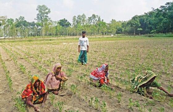 Nilphamari farmers pinning hopes on early variety potato