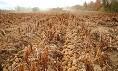Ongoing drought shrinks Aroostook County potato yields