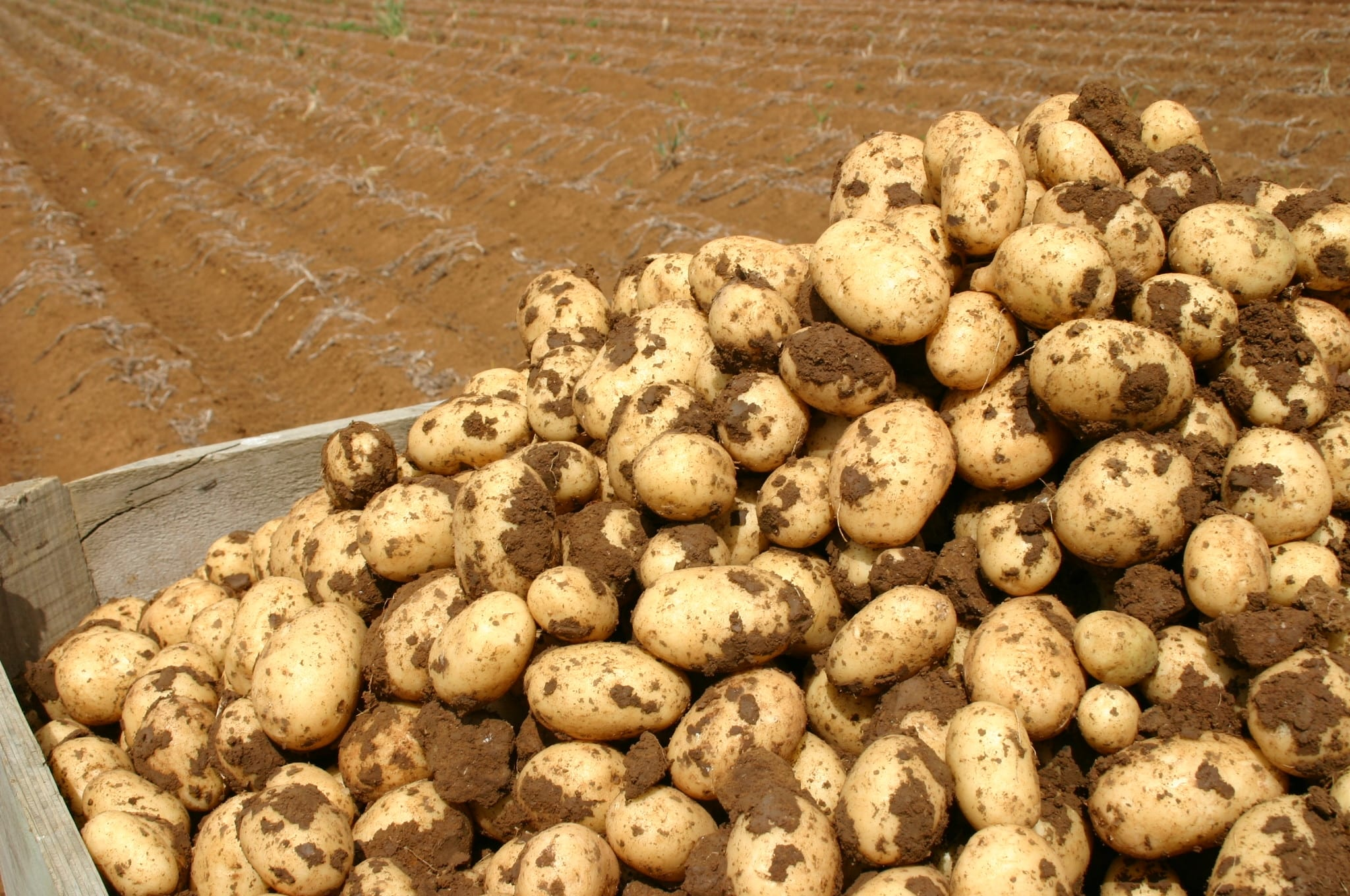 PVMI Working on Potato Varieties.
