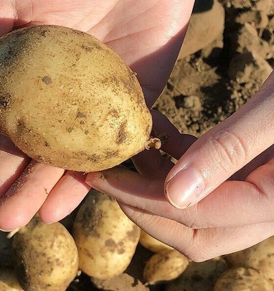 Potatoes harvested from Cecarellis Harrison Hill Farm. (Photo: Christelle Ramos/Yale Hospitality)