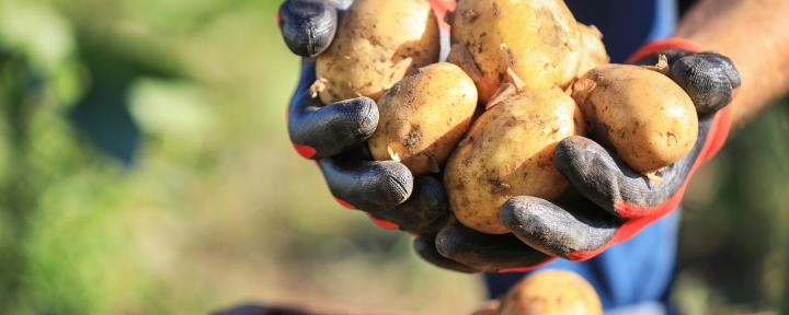 The NEPG expects that producers in the north-west of the EU will plant a total of 15 percent fewer potatoes next spring.
