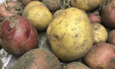 The potato originally came from the Andes Mountains in Peru. (Photo provided/Chuck Martin)