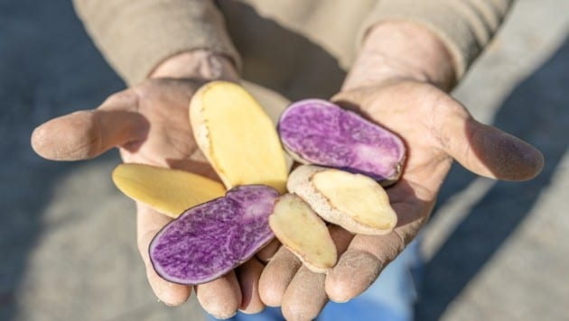 """With its unusual potatoes, which captivate both in colour and taste, """"Zerza-Bauer"""" Heimo Oberauner took third place at the """"Vifzack 2020"""" - the agricultural innovation prize of the Carinthian Chamber of Agriculture. The variety of its apples now extends to 25 varieties; including the world's most expensive potato and experimental varieties"""