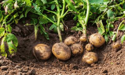 potatoes growing