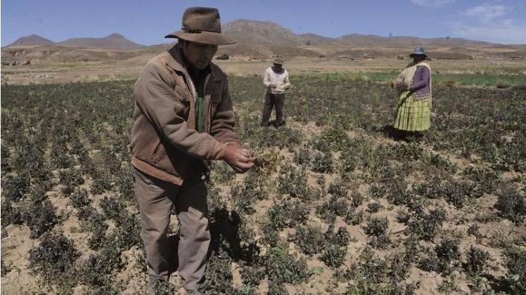 Frosto bruligas 400 ha da terpomoj kaj aliaj kultivaĵoj en Patacamaya