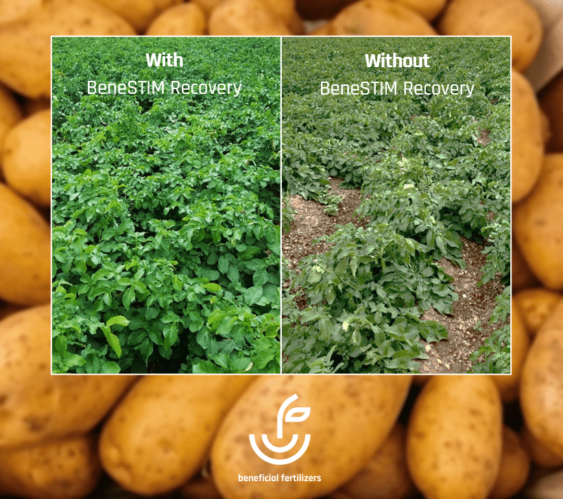 BeneSTIM Recovery on potatoes INSTA1143