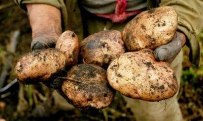 Potato and macroeconomics