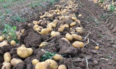 patata tierra 987