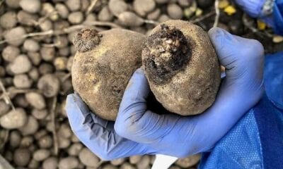 wratziekt bij aardappels foto nvwa. detail