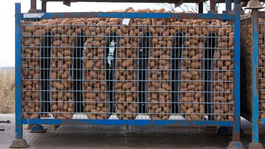 patate da semina