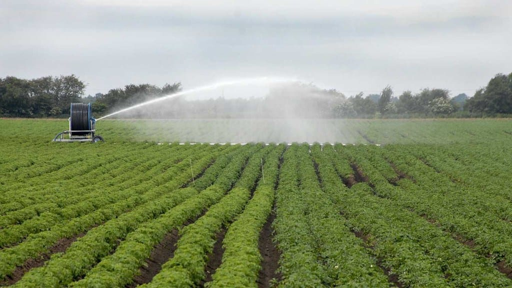 irrigation potato